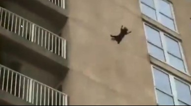 El asombroso salto de un mapache desde la fachada de un edificio del que sale ileso
