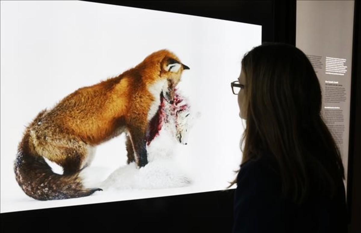 Una visitante de CosmoCaixa observa 'A tale of two foxes (Uncuento de dos zorros)', la fotografía ganadora de Wildlife Photographer of the Year captada en un parque de Canadá por Don Gutoski.