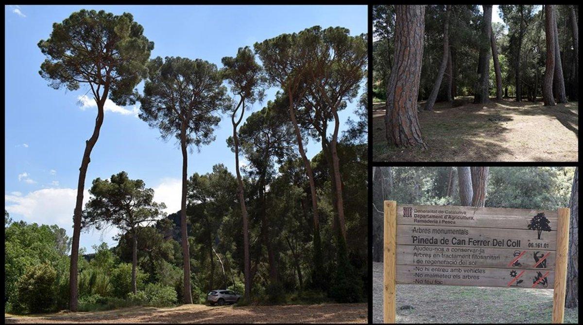 Pinos de la pineda de Can Ferrer del Coll, en Piera.