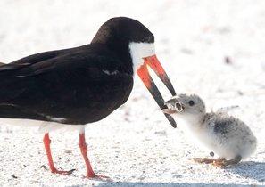 Contaminación: la foto de un ave que da de comer colillas a su cría en una playa de Florida