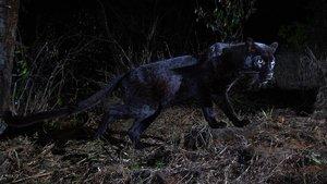 Fotografiat un lleopard negre per primera vegada en un segle a l'Àfrica