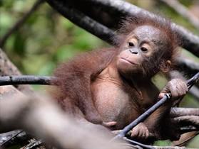 Una cría de orangután en un centro de fauna de Indonesia.