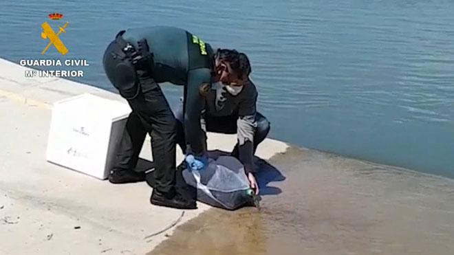 Liberadas en el Ebro 97.500 angulas procedentes del tráfico ilegal.