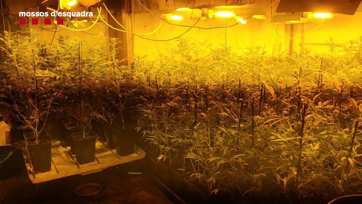 Desmantellen un cultiu amb 343 plantes de marihuana en un pis de l'Hospitalet de Llobregat