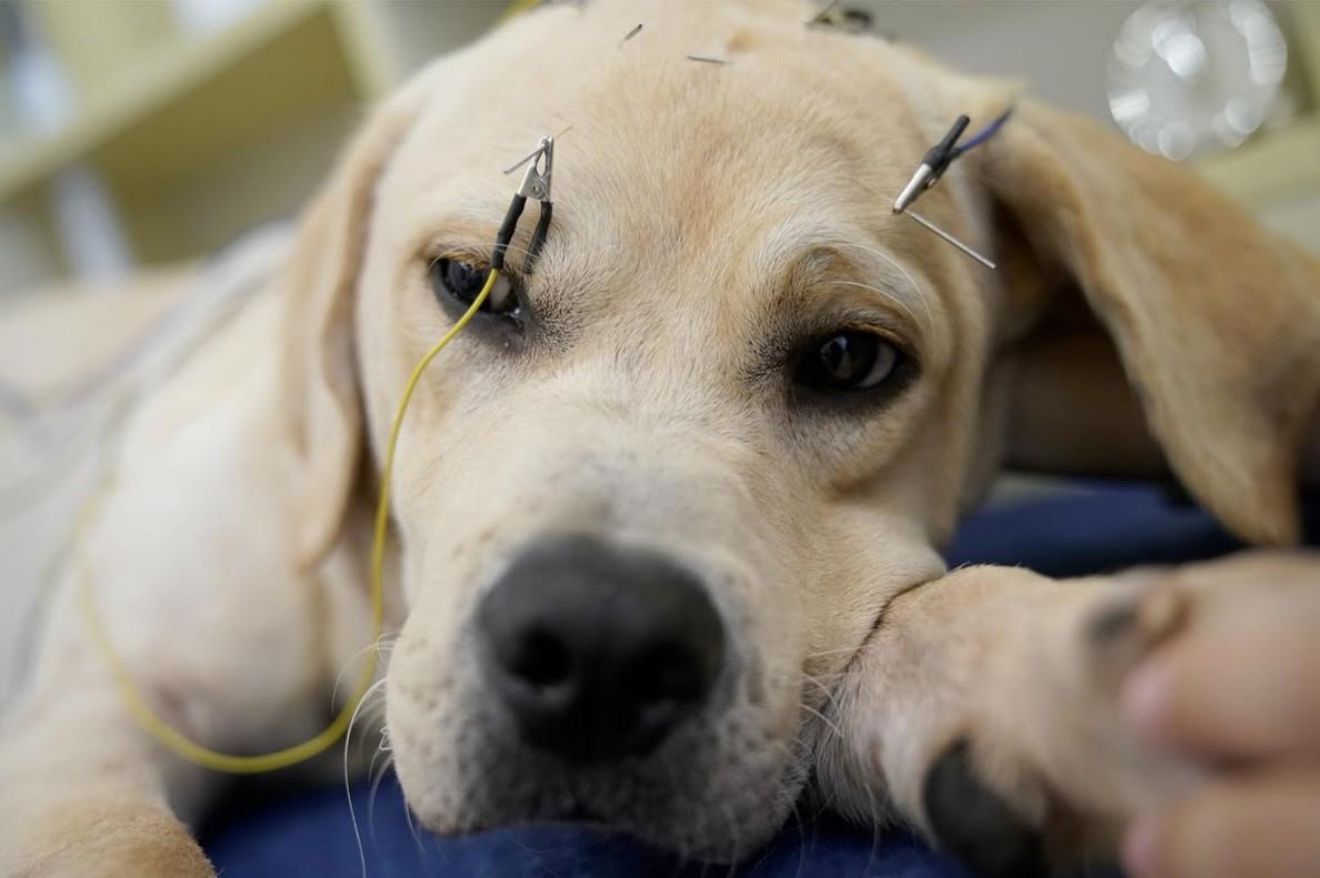 Un perro recibiendo tratamiento de acupuntura en elCentroTCM de NeurologíayAcupuncturade Salud Animal, en Shangai (China).