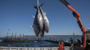 Marineros de Barbate, Cádiz, trabajan enla captura del atún rojo.