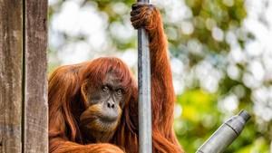 Mor als 62 anys Puan, l'orangutan més vella del món