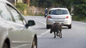 Un senglar creuala carretera de lArrabassada.
