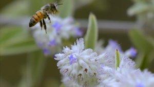 Investigadors descobreixen que el verí de les abelles és capaç de destruir les cèl·lules agressives del càncer de mama