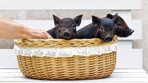 El porc vietnamita i tres animals exòtics més no es podran tenir com a mascotes
