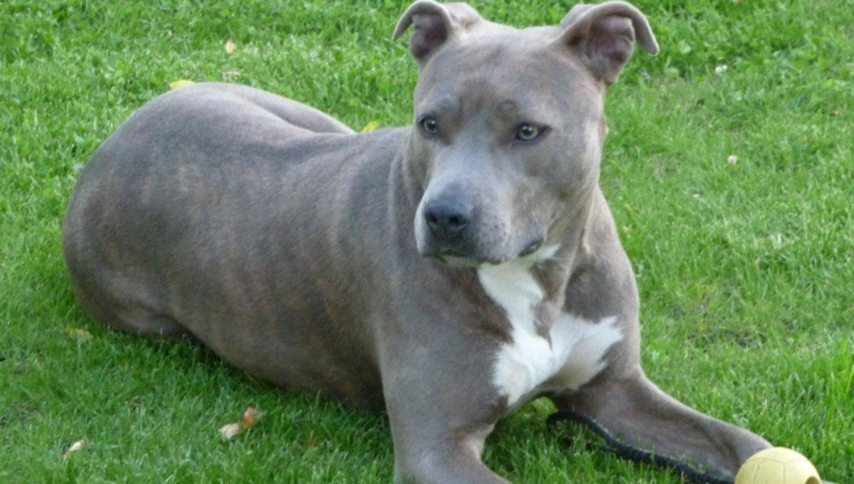 Un perro de la razaAmerican Staffordshire.
