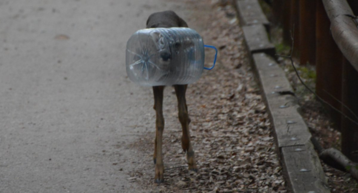 Encuentran a un corzo con la cabeza metida en una garrafa de plástico en Barcelona