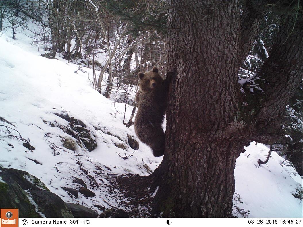 Hembra captada a finales de marzo en el Parque Natural del Alt Pirineu.