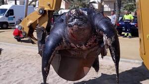 Retirada con una grúa de la tortuga muerta localizadaen Calella.