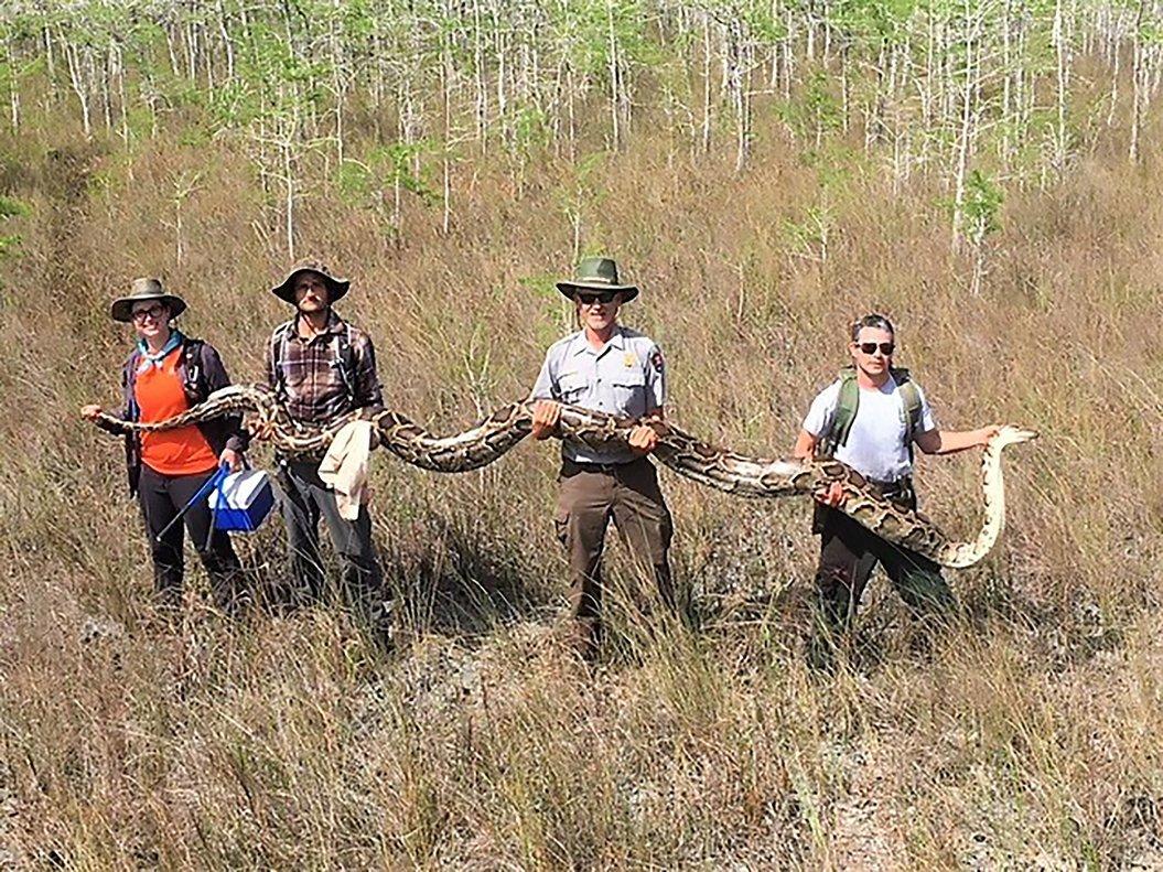 La serpiente de más de cinco metros encontrda en Florida, EEUU. AFP