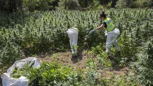 Agentes de los Mossos destruyen una plantación con 18.000 plantas de marihuana en Vilademuls, en Girona, en el 2017.