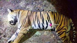 El cadáver de la tigresa Avni.