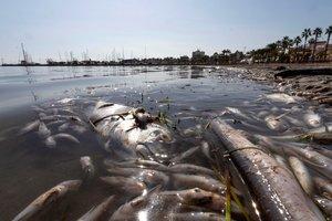 Aparecen peces muertos en una playa del Mar Menor, en la zona de Villananitos y La Puntica, San Pedro del Pinatar, (Murcia).