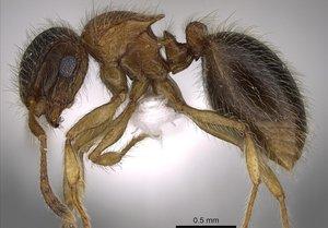 Mo Salah, la hormiga descubierta en la península arábiga.