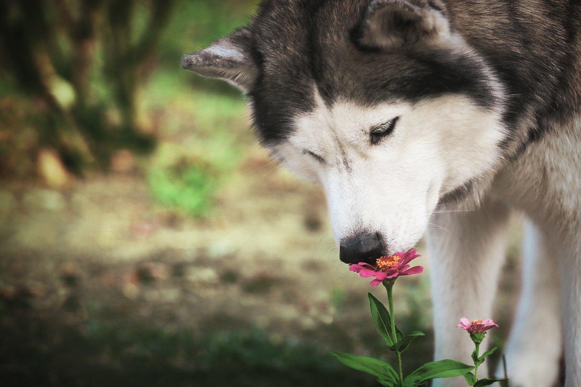 Un husky huele una flor.