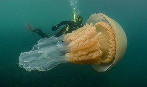 """La experiencia """"increíble"""" de una mujer nadando con una medusa gigante"""