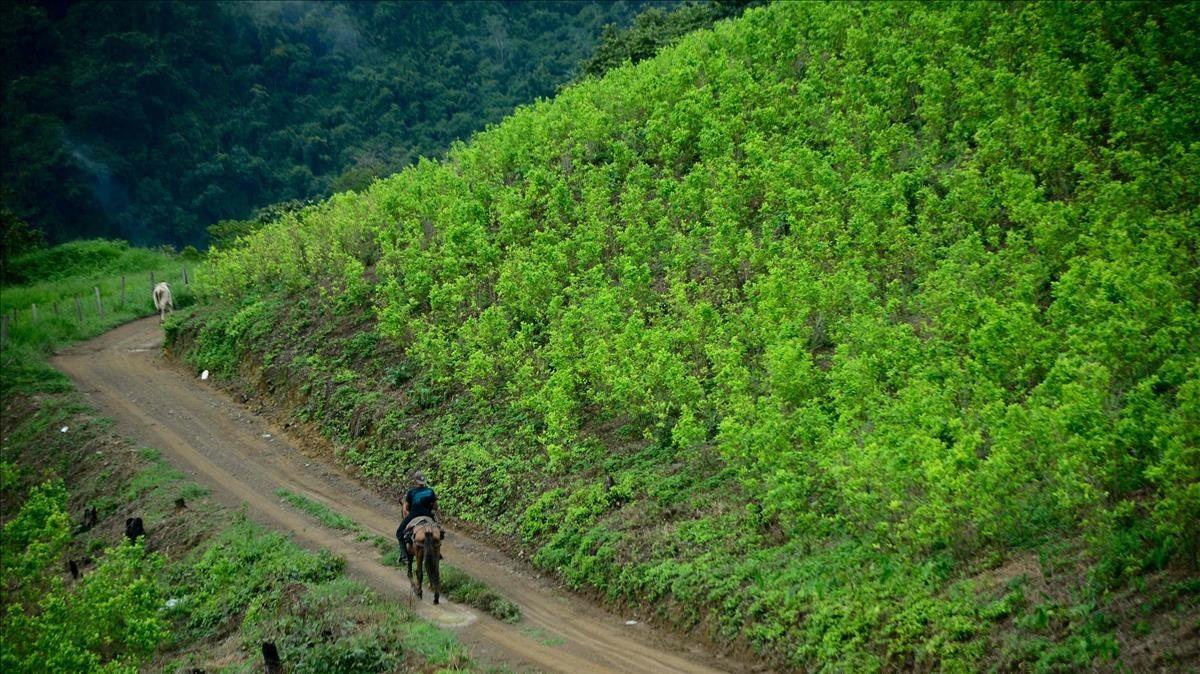 Una plantación de hoja de coca en Colombia.