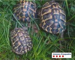 Tortugas rescatadas por los Mossos.