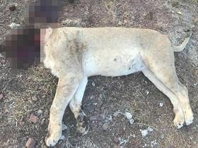 Uno de los leones descuartizados en el zoo de Pretoria.