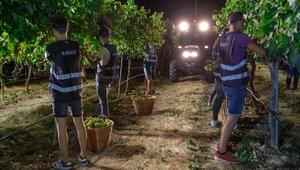 Vendimiadores de la bodega Raimat recogen la uva en el comienzo de la campaña de la vendimia del 2019.