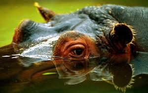 Un hipopótamo, en una foto de archivo.