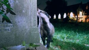 Tejón viviendo en un cementerio en el sur de Londres, Reino Unido