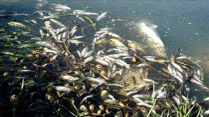Peces muertos en la ribera del Guadiana, en Luciana (Ciudad Real).