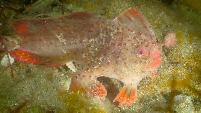 Presentan a los últimos ejemplaresdel planetadel pez-mano rojo para evitar su extinción.