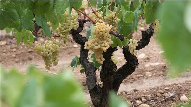Por el vino se sabe cómo cambia el clima