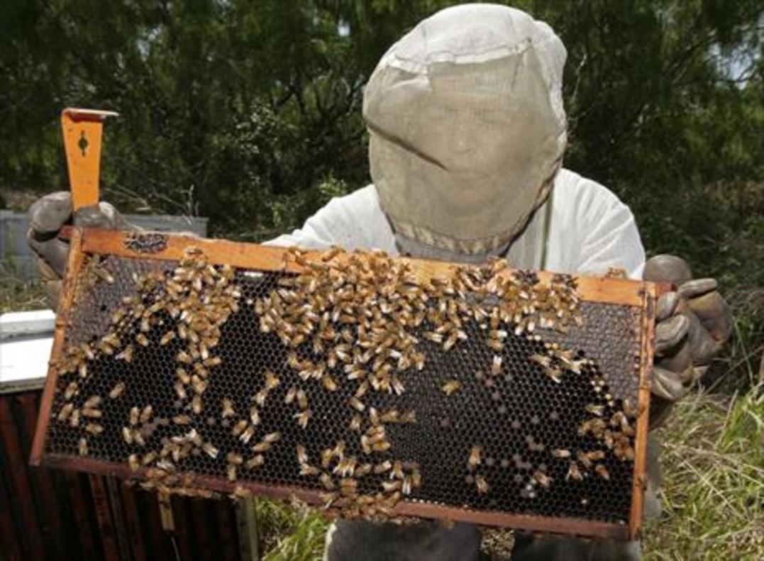 Un apicultor trabaja con sus colmenas de abejas.