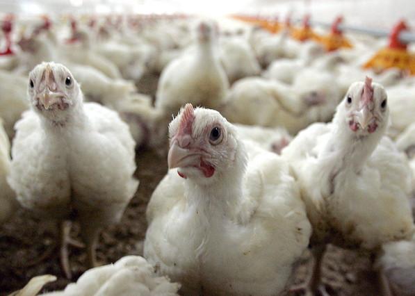 Un grupo de pollos en una granja.