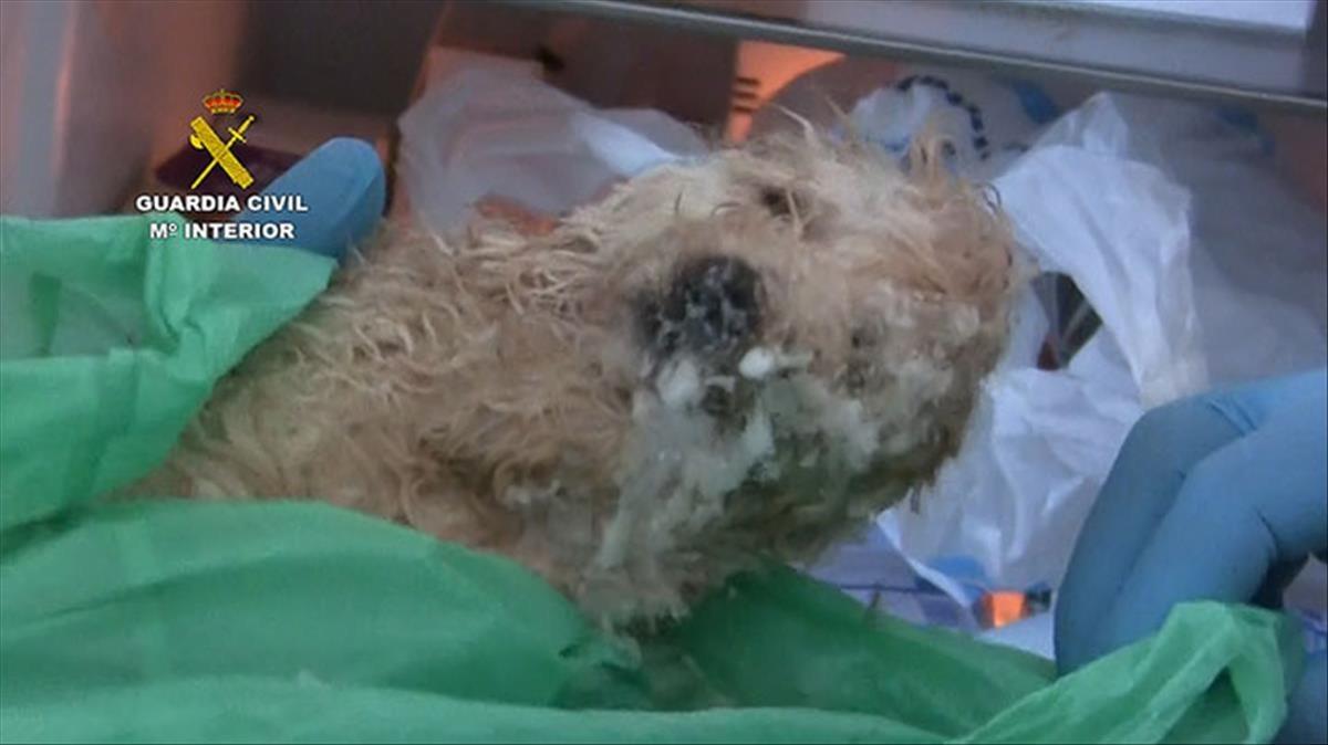 Uno de los cachorros intervenidos por la Guardia Civil.