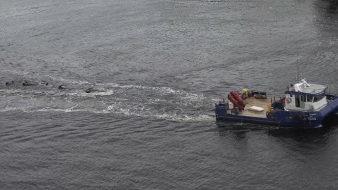 Las autoridades australianas trasladan mar adentro los cadáveres de las 380 ballenas varadas en Tasmania.
