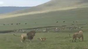 Un perro planta cara a dos leones