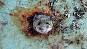 Una rata saca la cabeza por un orificio de un cubo de basura en el distrito neoyorquino de Brooklyn