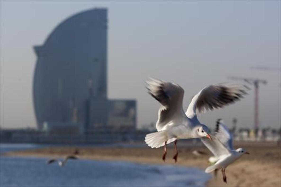 Gaviotas en una de las playas urbanas de Barcelona.