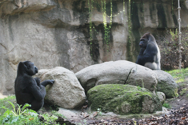 Gorilas en el Zoo de Barcelona.