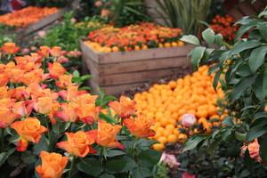 Los visitantes podrán ver y oler más de 10.000 rosas en la Exposición Nacional de Rosas de Sant Feliu.