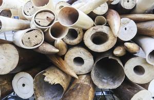 Marfil procedente del tráfico ilegal y la matanza de elefantes.