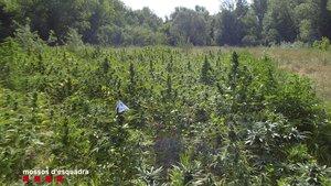 Plantas de marihuana localizadas junto al río Fluvià.