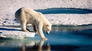 Oso polar probando la fuerza del hielo marino en el Ártico