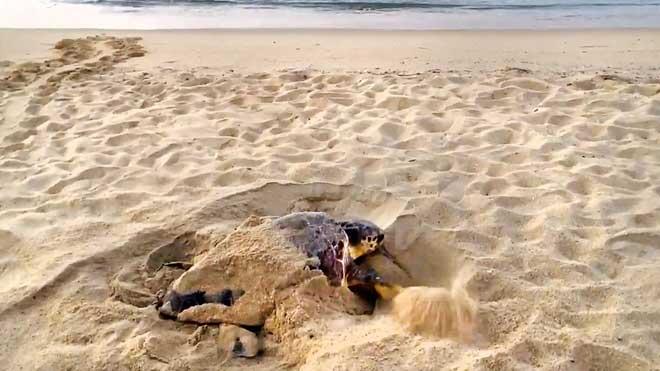 Una tortuga babau fauna posada dous a la platja de Premià