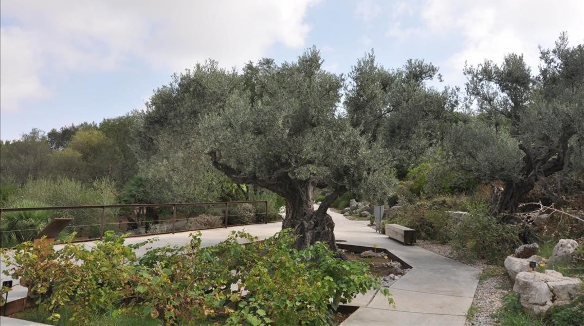Un olivo del jardín botánico de Montjuïc.