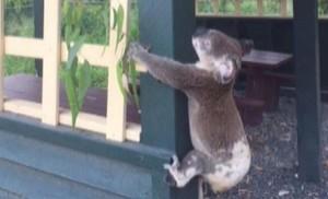 Indignación en Australia por el hallazgo de un koala atornillado a un poste