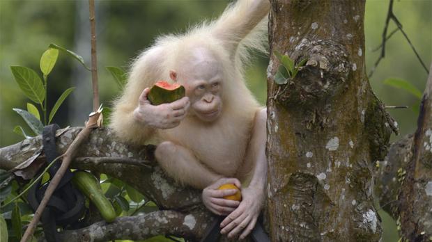 Alba, la orangutana albina de Borneo, vivirá en un área de selva protegida